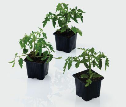 Plants de tomates diverses